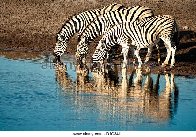 Trio of common zebras (Equus burchelli) at a water hole, Etosha National Park, Namibia, Africa - Stock Image
