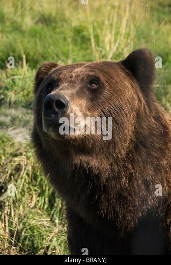 Brown bear (Ursus artos), Alaska Wildlife Conservation Center, Portage, Alaska, United States of America, North - Stock-Bilder