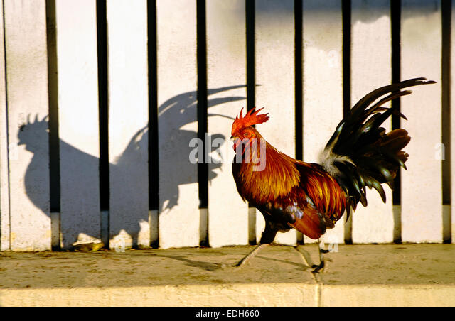 Key West rooster roaming in Mallory Square. - Stock Image