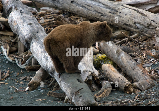 Coastal brown bear balancing on driftwood on the beach in Katmai National Park & Preserve - Stock Image
