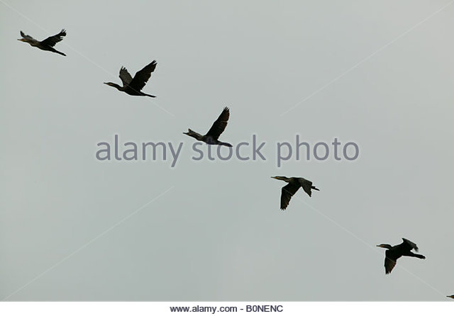 Neotropic cormorants flying in formation near Panama city, Republic of Panama. - Stock-Bilder
