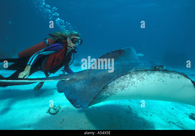 Grand Cayman Island West Indies Caribbean Stingray City sting ray diver swimming with ray - Stock Image