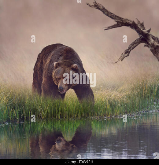 Grizzly Bear Near the Pond - Stock Image