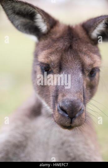 Western-grey Kangaroo (Macropus fuliginosus) - Stock Image