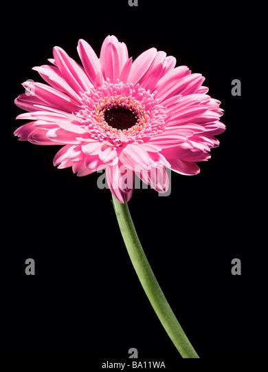 Pink Gerbera Stem - Stock Image