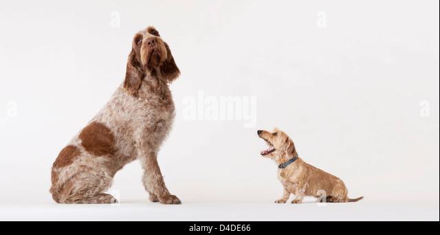 Small dog barking at bigger dog - Stock Image