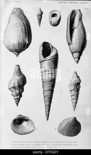 Fossil shells of the Miocene Tertiary Period - Stock Image