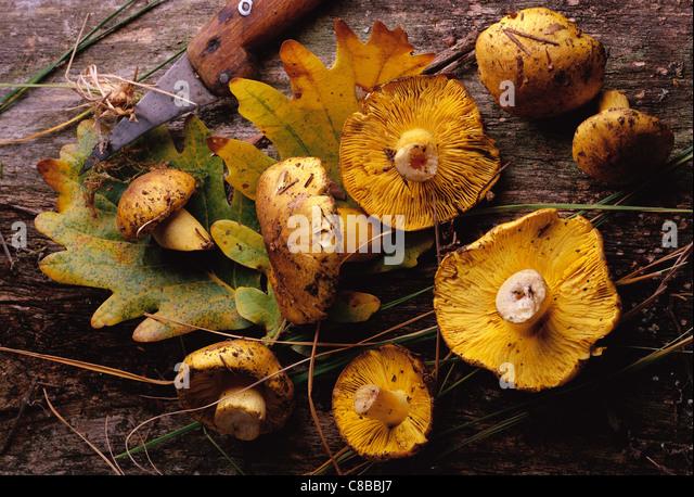 saint-georges mushroom - Stock Image