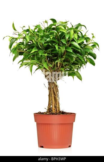 A Ficus Benjamin (ficus benjamina natasja) in a brown pot - Stock Image