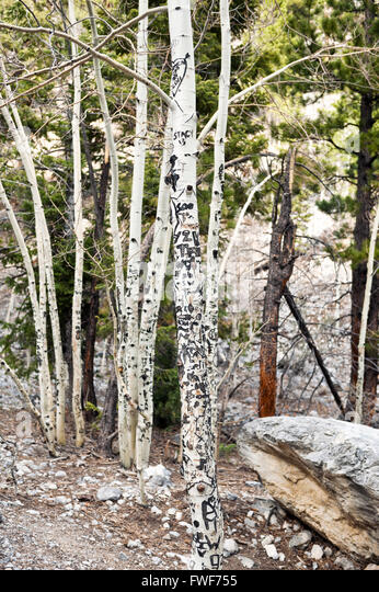 Graffiti carved into aspen trees on Mount Charleston, Clark County Nevada - Stock Image