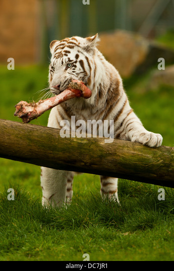 Tiger Eating Stock Pho...