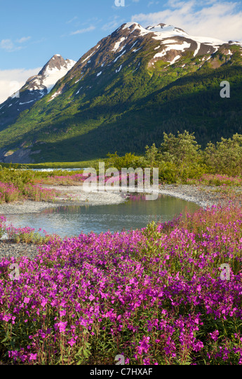 Wildflowers at Spencer Glacier, Chugach National Forest, Alaska. - Stock Image