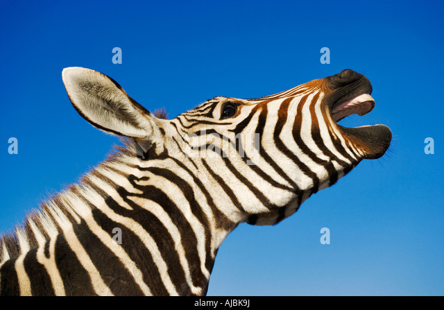 Zebra (Equus burchelli) with Mouth Open - Stock Image