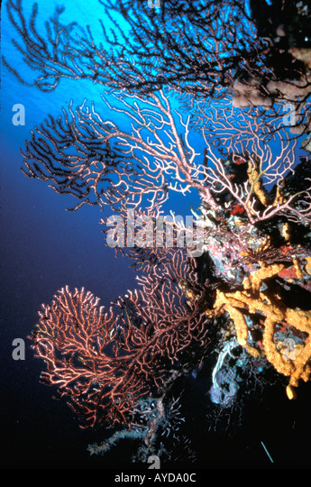 Caribbean coral fans deep water gorgonians Jamaica Ocho Rios - Stock Image