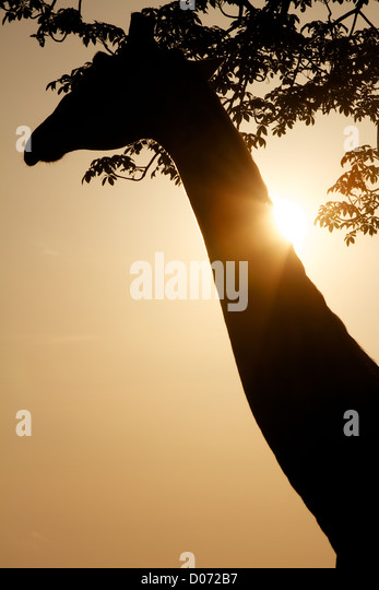 Giraffe in silhouette  Giraffa camelopardalisMikumi Game reserve . Southern Tanzania. Africa - Stock Image