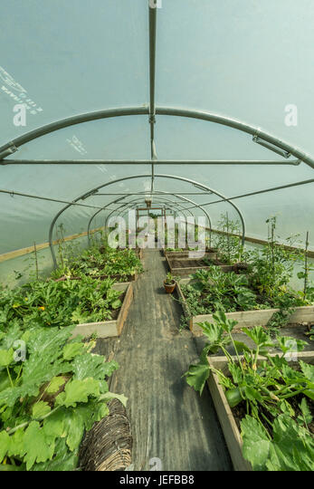 Wide-angle fisheye view inside a polytunnel growing vegetables - possible metaphor for concept of self-sufficiency, - Stock Image