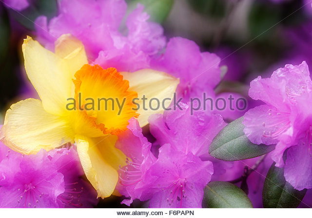 Soft focus of Daffodil and Azalea - Stock Image