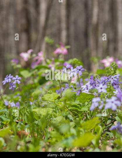 Blue Phlox Blooms Along Valley Trail in early spring - Stock Image