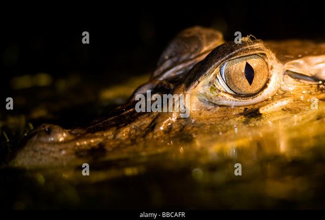 Close-up of Caiman at night - Yasuni National Park, Napo Province, Ecuador - Stock Image