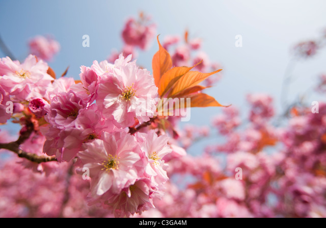 Cherry blossom on an ornamental cherry tree in Spring, Ambleside, Cumbria, UK. - Stock Image