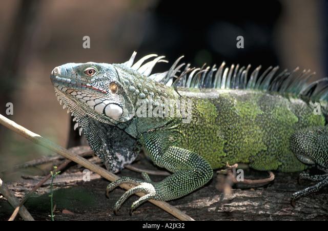 Aruba Green Iguana Arikok National Park - Stock Image