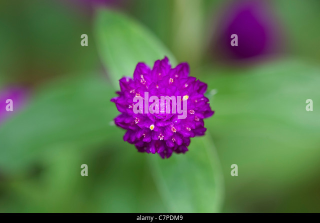 Gomphrena globosa .  Globe Amaranth or Bachelor Button flower in India - Stock Image