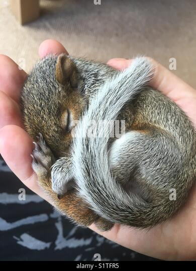 Baby squirrel in hand - Stock Image