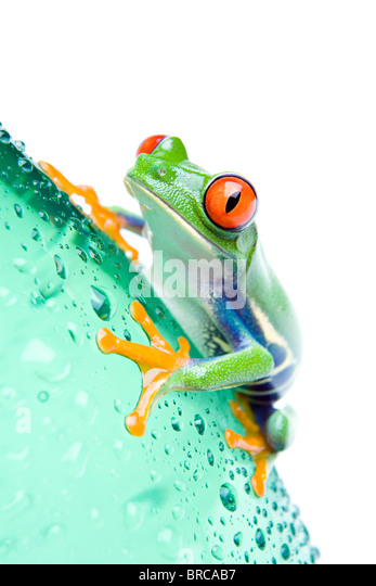 red-eyed tree frog on a water bottle with water droplets, closeup isolated on white - Stock Image