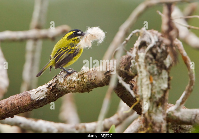Yellow-browed Tody-Flycatcher (Todirostrum chrysocrotaphum) carrying nesting material near the Napo River in Amazonian - Stock Image