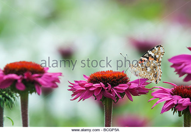Painted lady butterfly feeding on echinacea purpurea flowers in an english garden - Stock Image