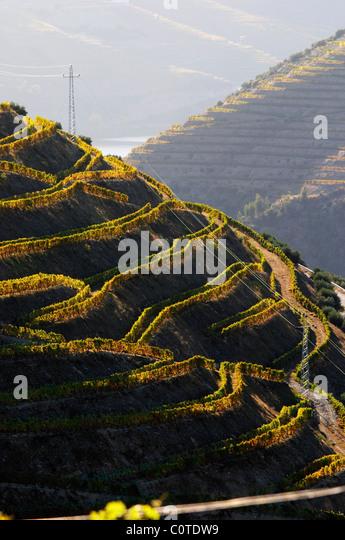 touriga nacional vineyards quinta do seixo sandeman douro portugal - Stock Image