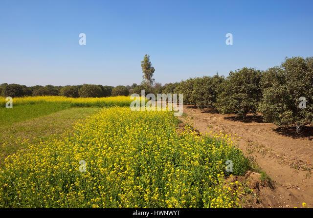 Flowering eucalyptus trees stock photos flowering for Garden design under gum trees