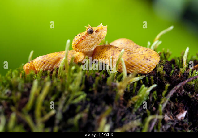 Eyelash Viper (Bothriechis schlegelii) - Laguna del Lagarto Lodge, Boca Tapada, Costa Rica [Controlled Specimen] - Stock Image