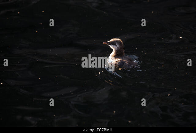 Guillemot jumpling (chick) photographed on the Farne Islands, Northumberland UK - Stock Image