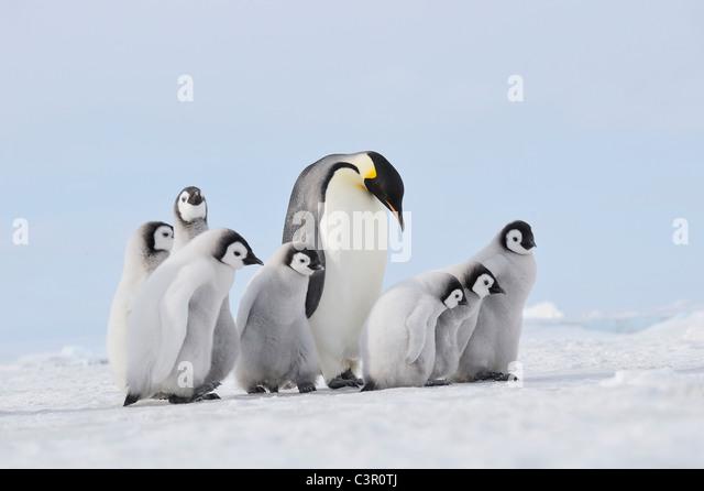 Antarctica, View of emperor penguin in group - Stock Image