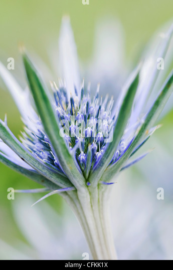 Eryngium bourgatii. Close up of sea-holly flower. - Stock Image