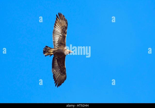 Golden Eagle (Aquila chrysaetos) Flying in Gran Paradiso Nationalpark, Italy - Stock Image