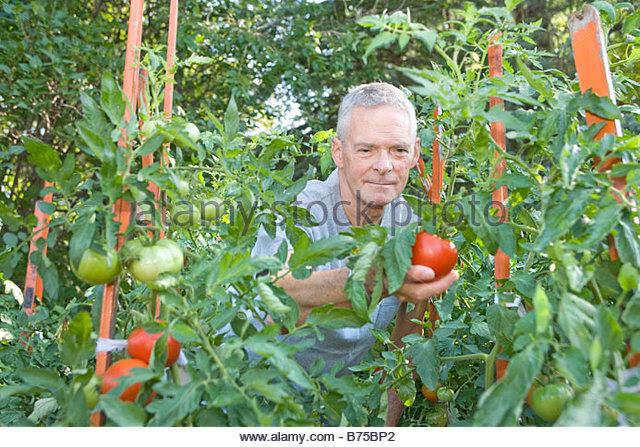 Senior man reaches out to pick tomato, Winnipeg, Canada - Stock Image
