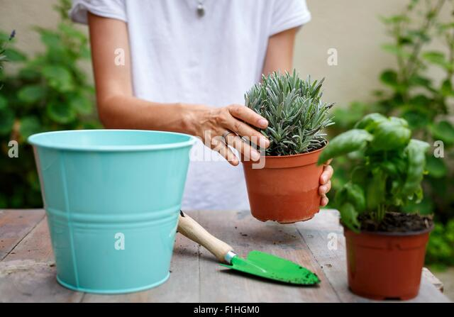 Cropped mid section of woman potting plants - Stock Image