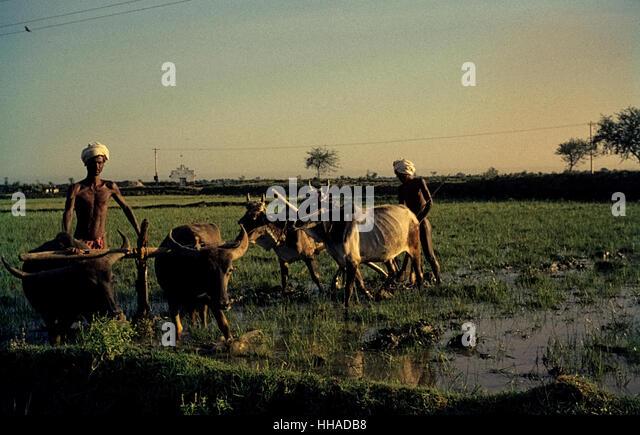 Reisanbau in Tamil Naddu in den sechziger Jahren.  Rice cultivation in Tamil Nadu, South India 1962 - Stock-Bilder