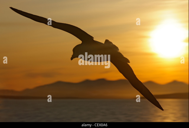 Fulmar in flight in morning light at Hornsund, Svalbard, Norway - Stock Image