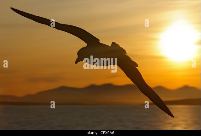 Fulmar in flight in morning light at Hornsund, Svalbard, Norway - Stock Image