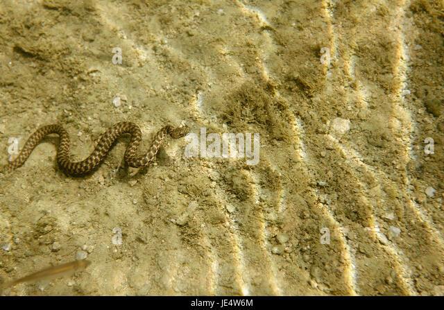 The dice snake from Mrežnica River, Croatia - Stock Image