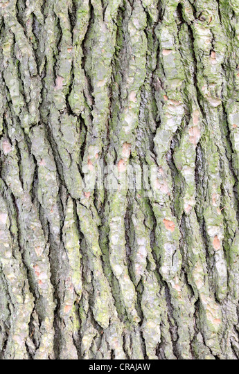 Bark of a Lebanon Cedar (Cedrus libani), Germany, Europe - Stock Image