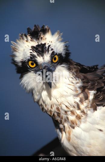 Osprey portrait Pandion haliaetus Ruffled feathers strange look - Stock Image