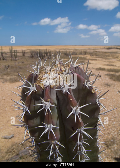 Close up of spiny cactus plant in desert - Stock Image