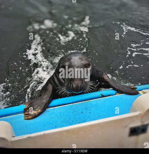 Grey seal stares into the camera as it attempts to board a boat in the water where Loch Long meets Loch Goil in - Stock-Bilder