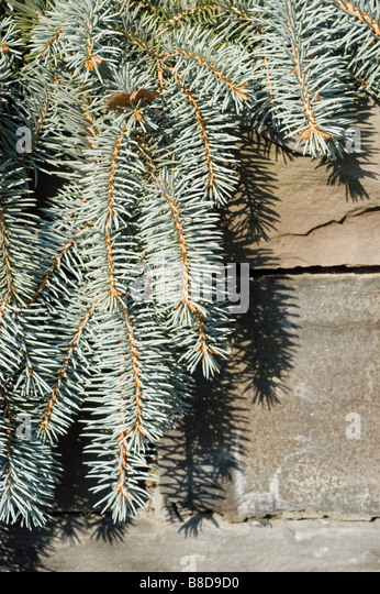 Colorado Spruce, Picea Pungens - Shilo Weeping, Pinaceae family - Stock Image