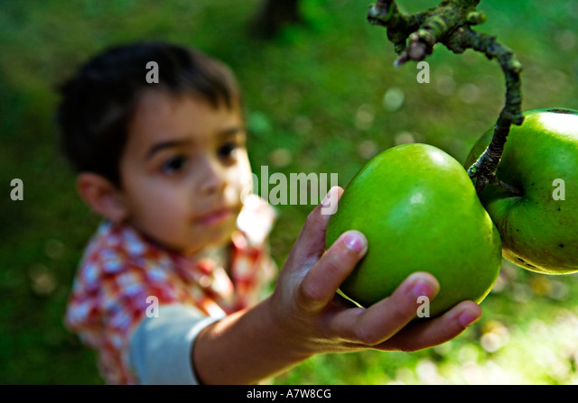 Mixed race boy aged 5 years reaches up for pair of apples on tree - Stock Image