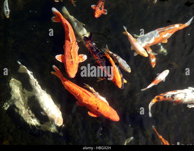 Yellow koi stock photos yellow koi stock images alamy for Yellow koi fish
